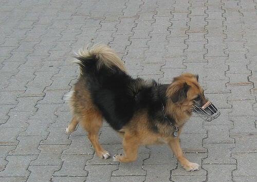 Een kleine hond draagt een muilkorf