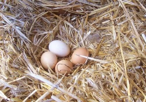 Verbeter de kwaliteit van je kippeneieren