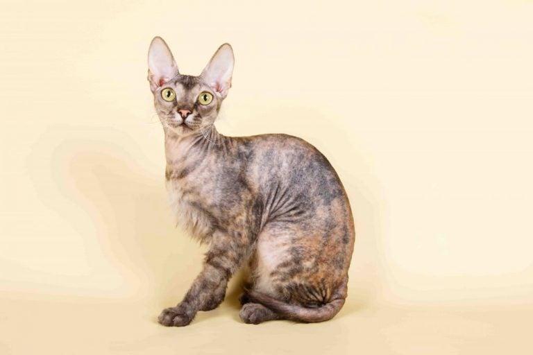 Een Donskoy kat