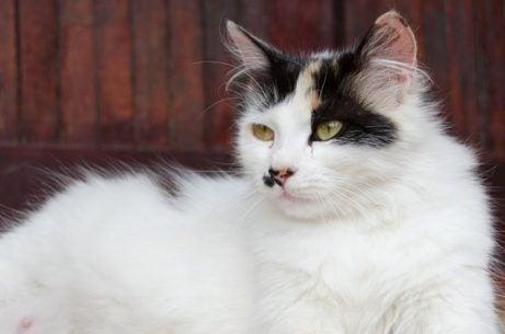 Drachtige kat
