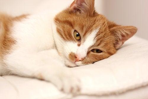 Zieke kat ligt op kussen