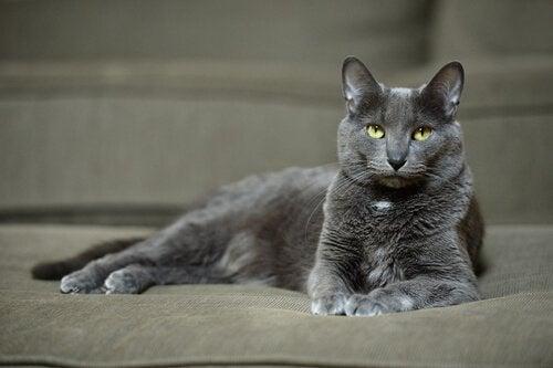 De Korat kat: een prachtig en plezierig kattenras