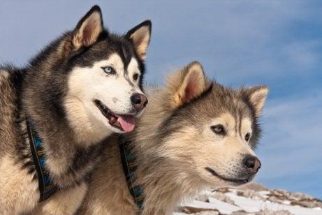 Verschillen tussen Alaska-malamutes en Siberische husky's