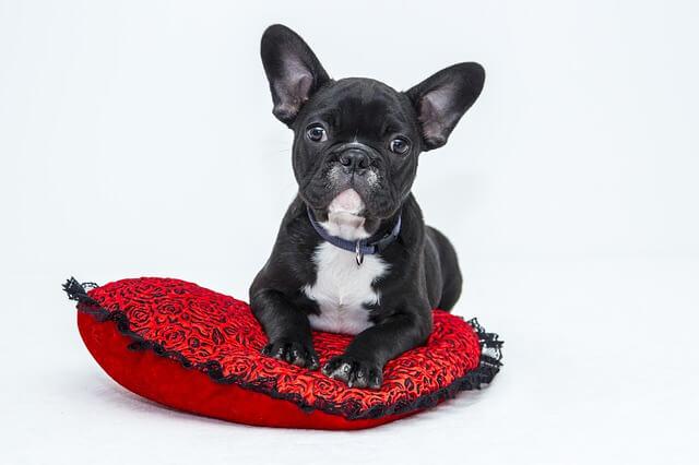 Een hond op een rood kussen