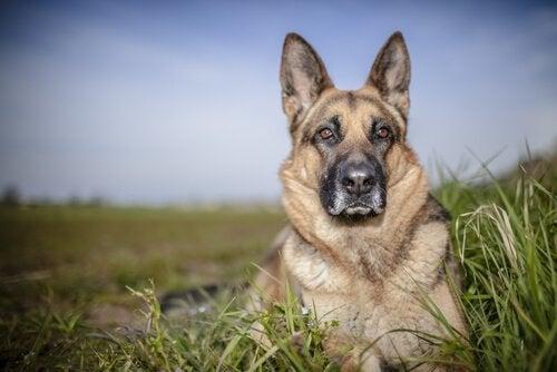 Duitse herder die in het gras ligt