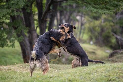 Georganiseerde hondengevechten