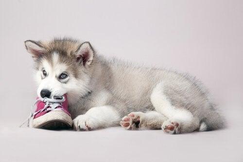 Hond kauwt op schoen