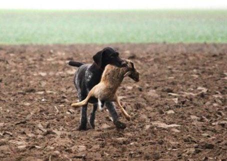 Een jachthond met zijn prooi