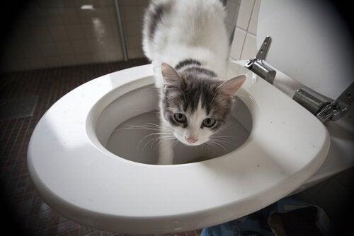 Kat die in een toilet stapt