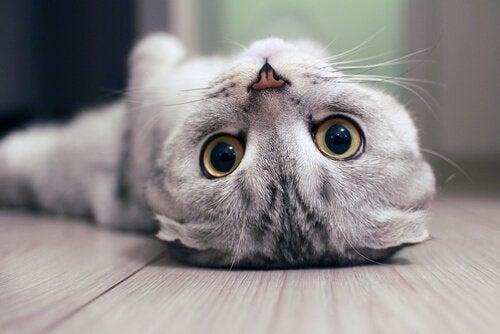 Kat die op zijn rug ligt