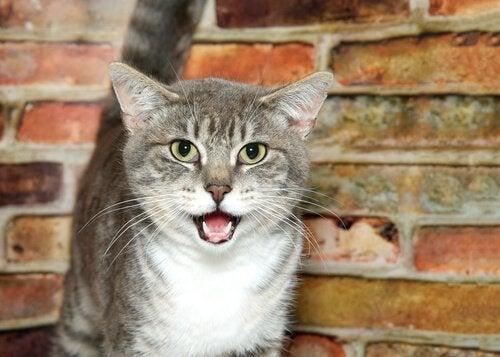 Kat staart je aan met zijn bek open