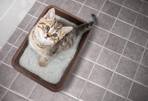 Kat die leert hoe de kattenbak te gebruiken