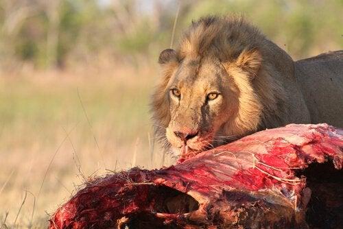 Afrikaanse leeuw die zijn prooi eet