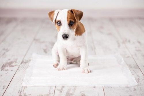 Puppy kijkt schuldig als hij binnen poept en plast