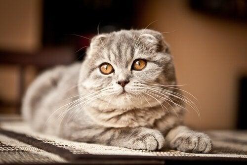 Een Schotse vouwoorkat, een van de vele exotische kattenrassen