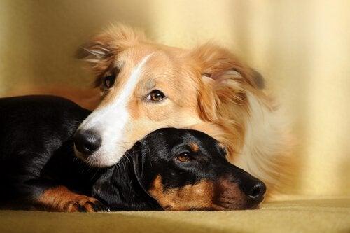 Voordelen van twee honden in huis hebben