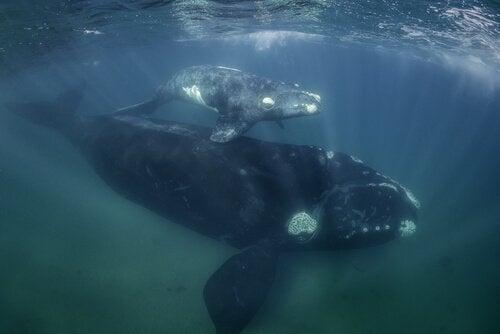 Twee uit het Middenlandse zeegebied verdwenen walvissen onder water