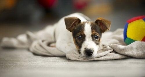 Ziekte bij honden: hoe vertelt je hond je dat er iets mis is?