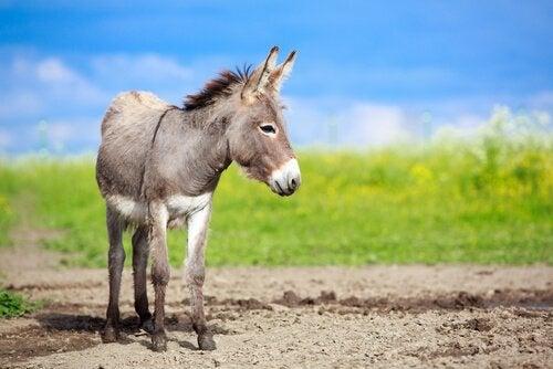 Verschillen tussen een ezel, een muildier en een muilezel