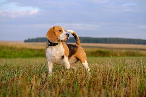 Beagle in een veld