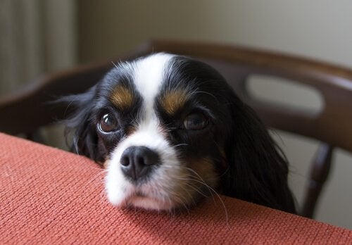bedelende hond aan tafel