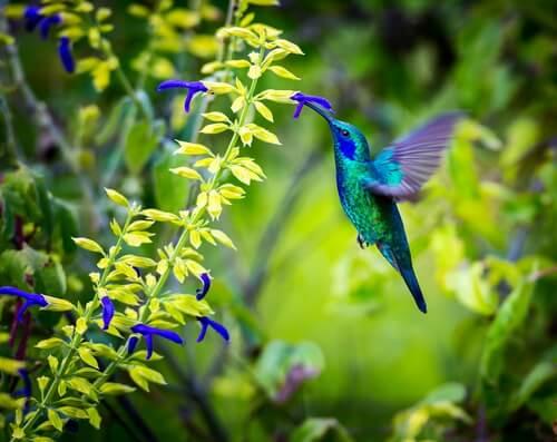Kolibrie die nectar verzamelt