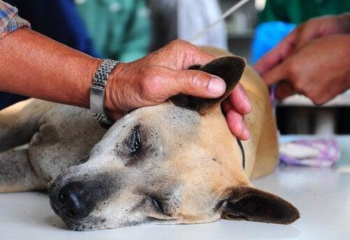 Een hond ligt op de behandeltafel voor onderzoek