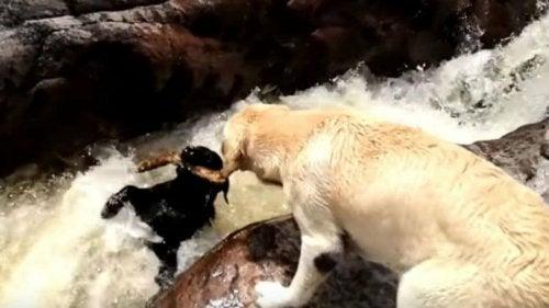 De hond die een andere hond uit een rivier redde