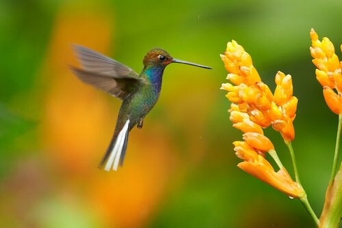 Kolibrie bij gele bloem