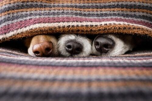 Honden die zich onder een deken verstoppen