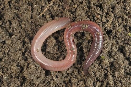 5 Interessante feiten die je niet wist over regenwormen