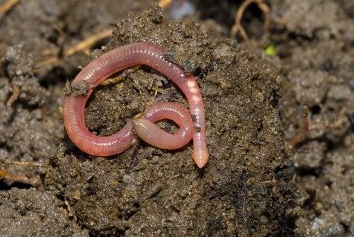 regenwormen zijn hermafrodieten