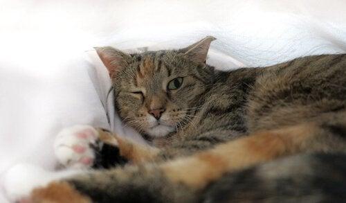 Uveïtis bij katten behandelen