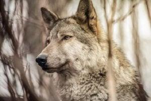Een roedel wolven