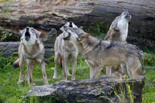 Maak kennis met het gedrag van een roedel wolven