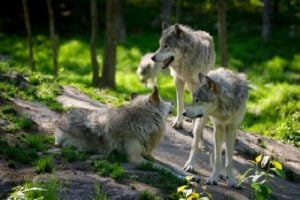 Niet alle wolven zijn gelijk