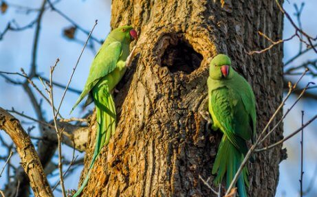 Halsbandparkieten op een boom