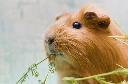 Cavia die een plant eet