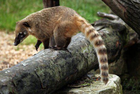 Neusbeer die op een boomstam staat