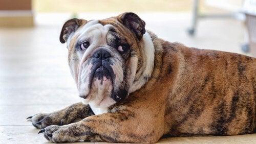 Een depressieve hond moet naar de psycholoog gaan