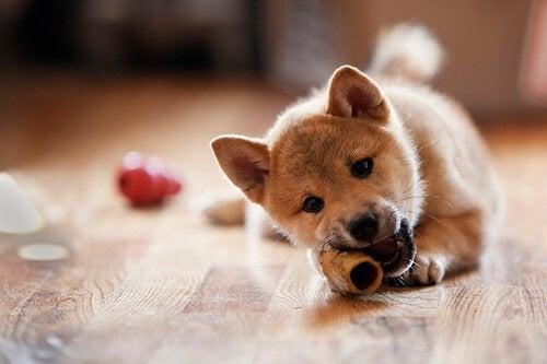 Hond kauwt op een bot om haaruitval bij honden te voorkomen