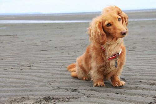 Kleine langharige hond op het strand