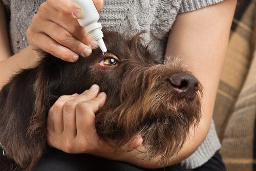 Hond die oogdruppels krijgt voor conjunctivitis .