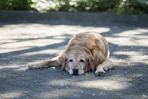Oude hond ligt op het pad