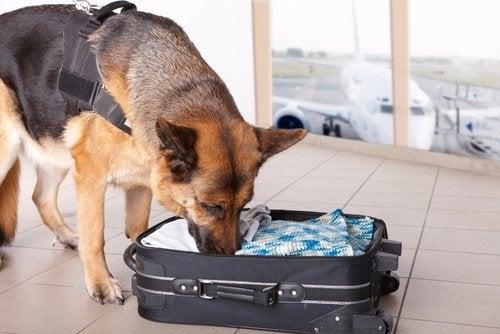 Hond die aan een koffer ruikt