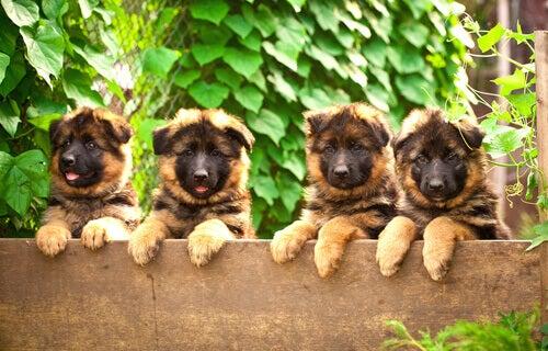 Vier kleine Duitse herders