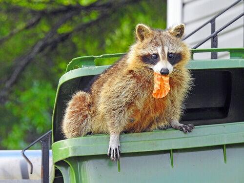Wasbeer die in de vuilnisbak graait