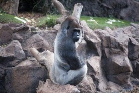 Westelijke gorilla die op een rots zit