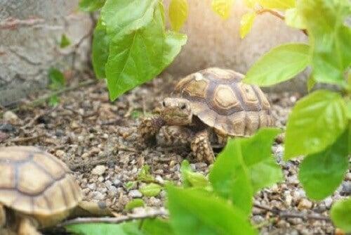 De kenmerken van Afrikaanse schildpadden