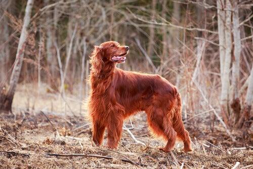 De rode Ierse setter: een mooie en lieve hond